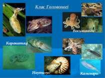 Клас Головоногі Каракатиці Восьминоги Кальмари Наутилус