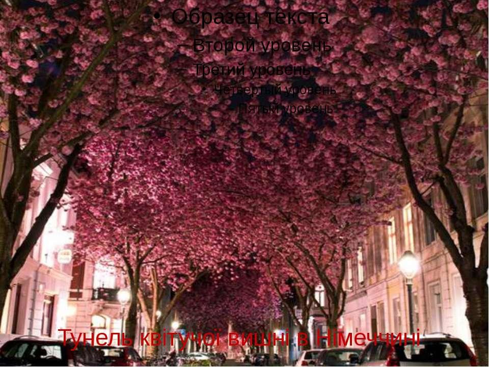 Тунель квітучої вишні в Німеччині