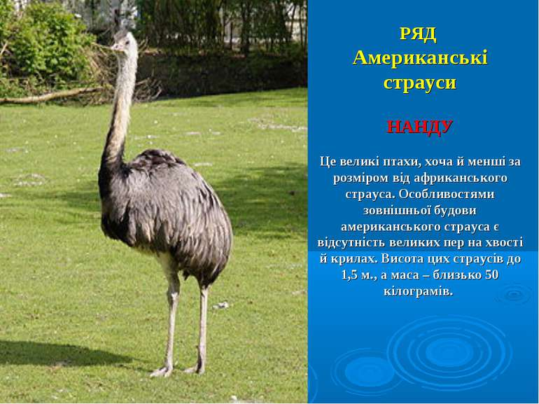 РЯД Американські страуси НАНДУ Це великі птахи, хоча й менші за розміром від ...