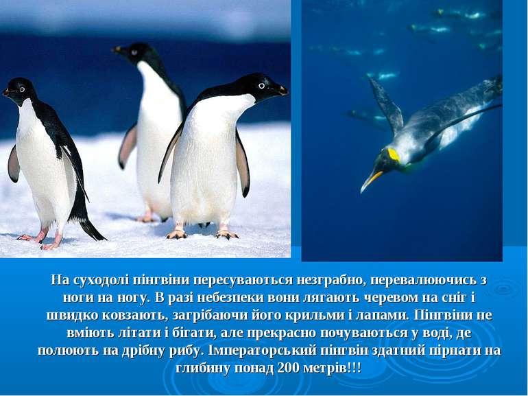 На суходолі пінгвіни пересуваються незграбно, перевалюючись з ноги на ногу. В...