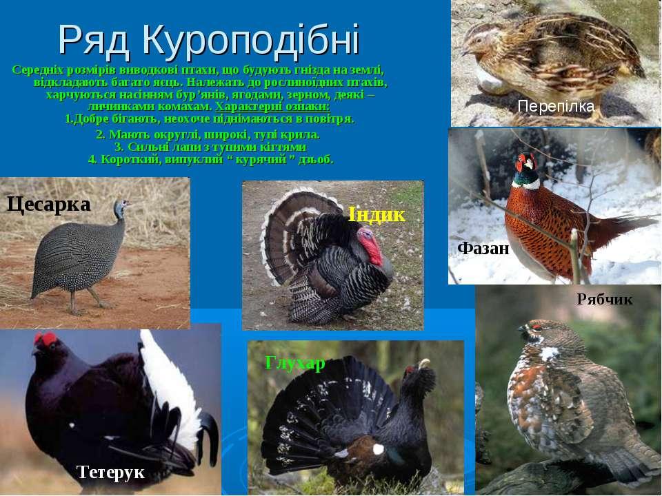 Ряд Куроподібні Середніх розмірів виводкові птахи, що будують гнізда на землі...