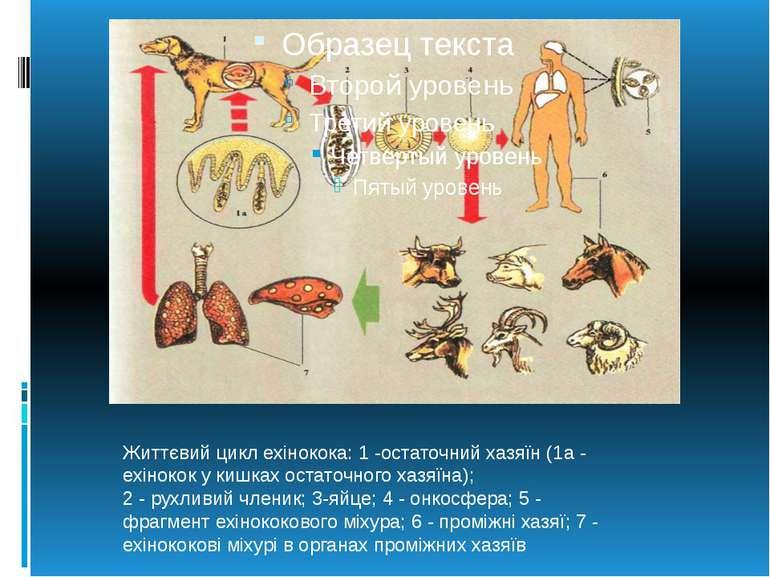 Життєвий цикл ехінокока:1-остаточний хазяїн (1а - ехінокок у кишках остаточ...