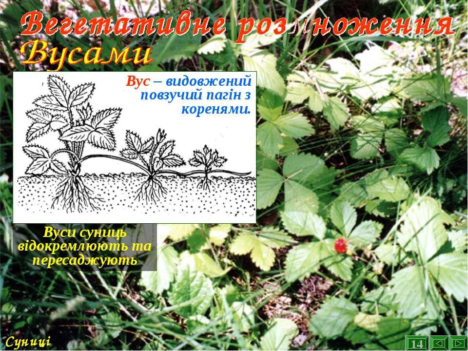 Суниці Вус – видовжений повзучий пагін з коренями. Вуси суниць відокремлюють ...