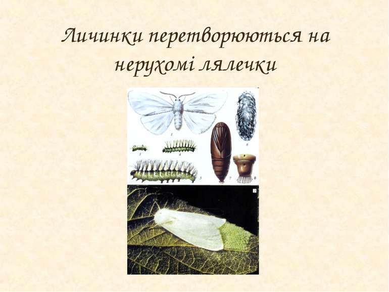 Личинки перетворюються на нерухомі лялечки
