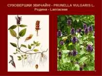 * СУХОВЕРШКИ ЗВИЧАЙНІ - PRUNELLA VULGARIS L. Родина - Lamiaceae