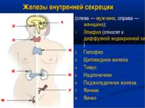 Железы внутренней секреции (слева — мужчина, справа — женщина): Эпифиз (относ...