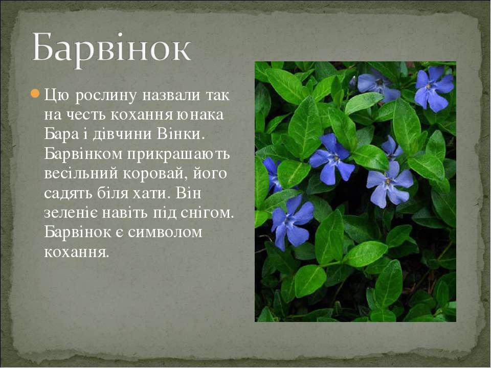 Цю рослину назвали так на честь кохання юнака Бара і дівчини Вінки. Барвінком...