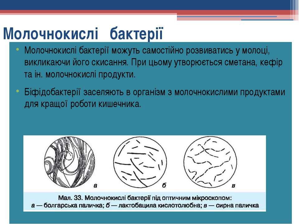 Молочнокислі бактерії Молочнокислі бактерії можуть самостійно розвиватись у м...