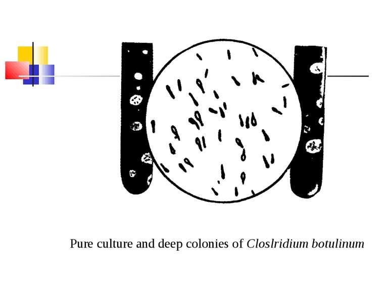 Pure culture and deep colonies of Closlridium botulinum