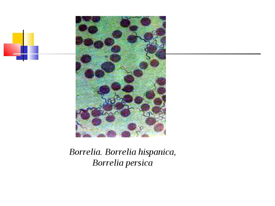 Borrelia. Borrelia hispanica, Borrelia persica