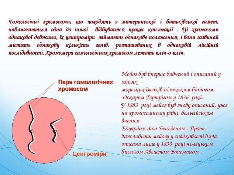 Пара гомологічних хромосом Центроміри Гомологічні хромосоми, що походять з ма...