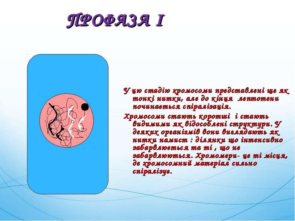 У цю стадію хромосоми представлені ще як тонкі нитки, але до кінця лептотени ...