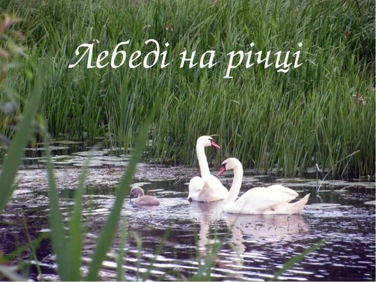 Лебеді на річці