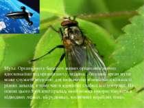 Муха. Органи нюху багатьох живих організмів значно вдосконаліші від органів н...