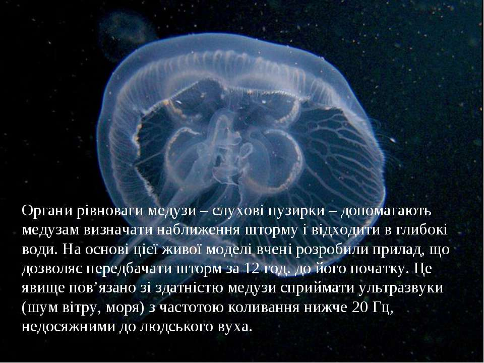Органи рівноваги медузи – слухові пузирки – допомагають медузам визначати наб...