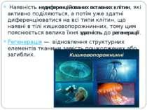 Наявність недиференційованих вставних клітин, які активно поділяються, а пот...
