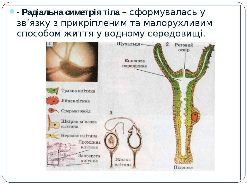 - Радіальна симетрія тіла – сформувалась у зв'язку з прикріпленим та малорухл...