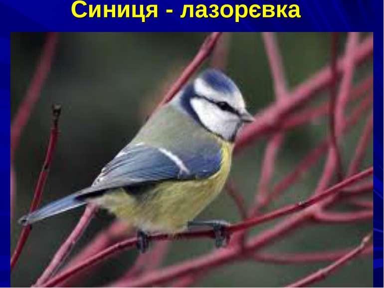Синиця - лазорєвка