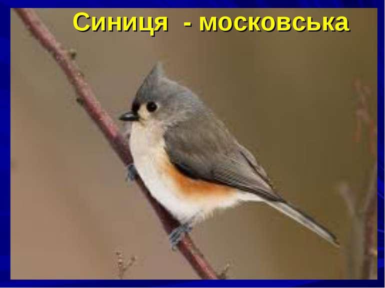 Синиця - московська