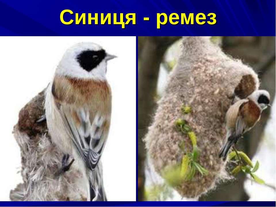 Синиця - ремез