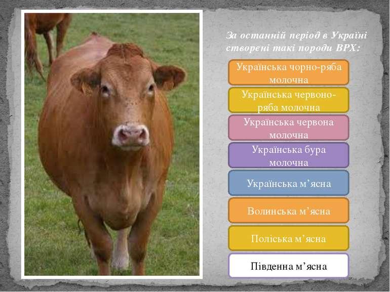 За останній період в Україні створені такі породи ВРХ: Українська чорно-ряба ...