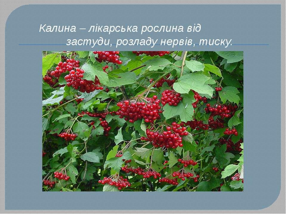 Калина – лікарська рослина від застуди, розладу нервів, тиску.