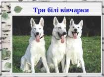 Три білі вівчарки