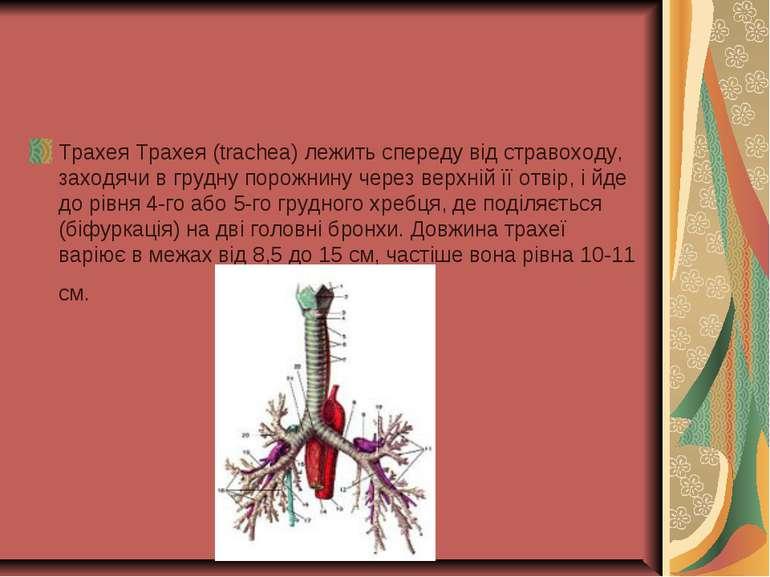 Трахея Трахея (trachea) лежить спереду від стравоходу, заходячи в грудну поро...