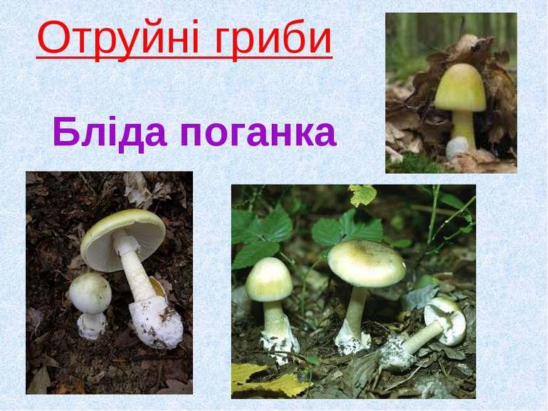 Отруйні гриби Бліда поганка