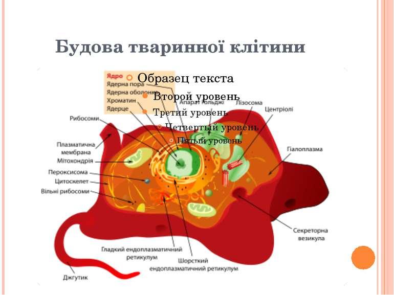 Будова тваринної клітини