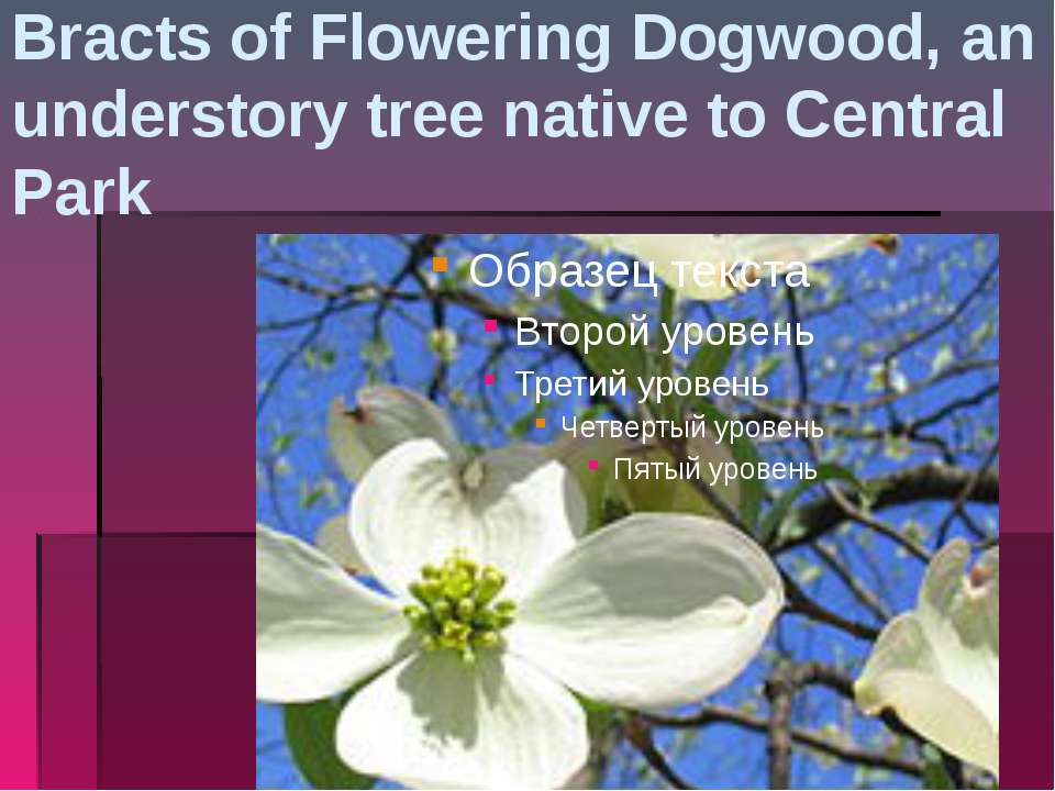 Bracts of Flowering Dogwood, an understory tree native to Central Park