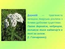 Деревій — трав'яниста запашна лікарська рослина з білими дрібними суцвіттями....