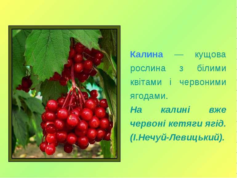 Калина — кущова рослина з білими квітами і червоними ягодами. На калині вже ч...