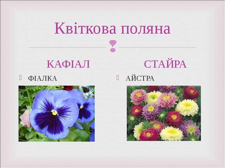 Квіткова поляна КАФІАЛ ФІАЛКА СТАЙРА АЙСТРА