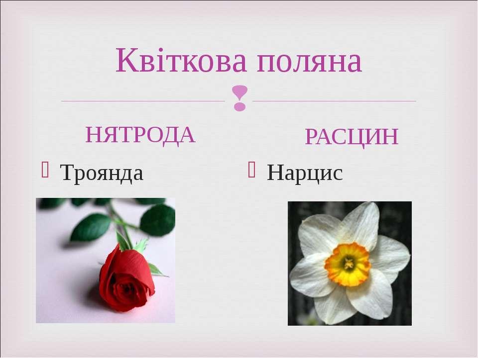 Квіткова поляна НЯТРОДА Троянда РАСЦИН Нарцис