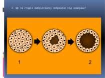 4. Що за стадії ембріогенезу зображено під номерами?