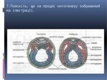 7.Поясніть, що за процес онтогенезу зображений на ілюстрації.