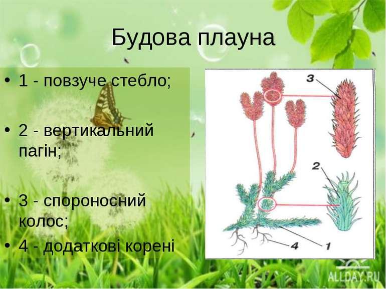 Будова плауна 1 - повзуче стебло; 2 - вертикальний пагін; 3 - спороносний кол...