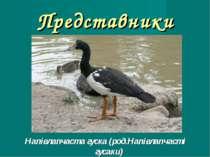 Представники Напівлапчаста гуска (род.Напівлапчасті гусаки)