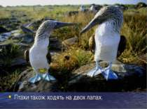 Птахи також ходять на двох лапах.