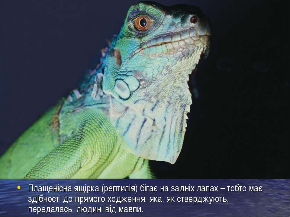 Плащенісна ящірка (рептилія) бігає на задніх лапах – тобто має здібності до п...