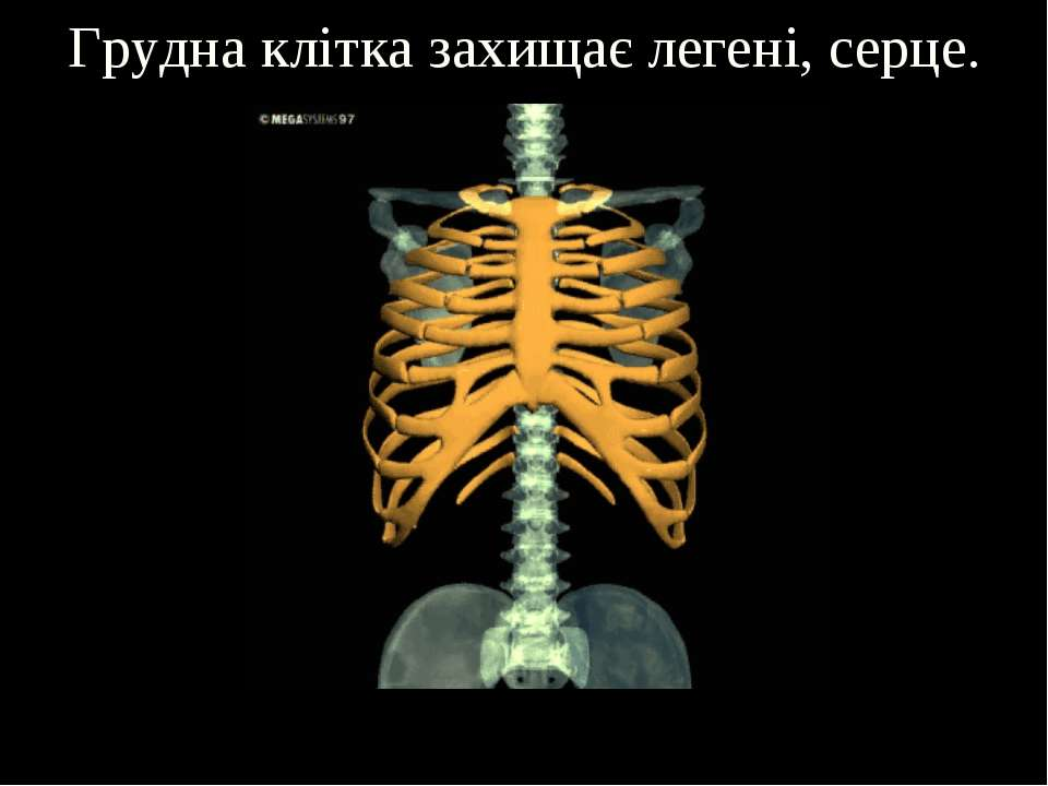 Грудна клітка захищає легені, серце.