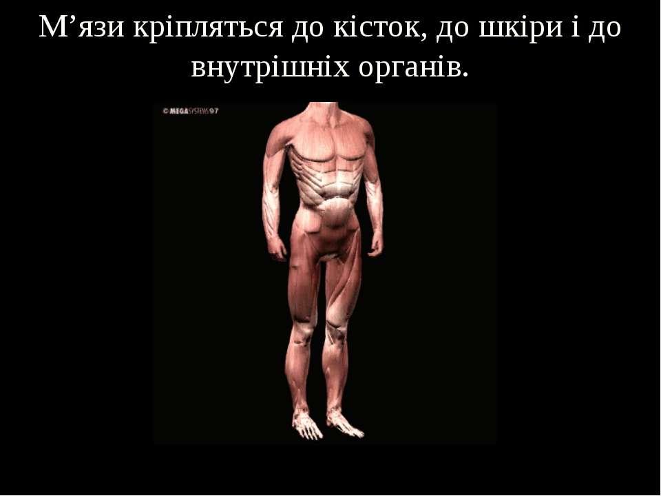 М'язи кріпляться до кісток, до шкіри і до внутрішніх органів.