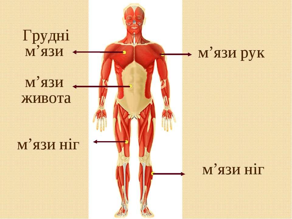 м'язи рук м'язи ніг Грудні м'язи м'язи живота м'язи ніг