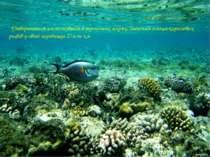 Утворюються на мілководді в тропічних морях. Загальна площа коралових рифів у...