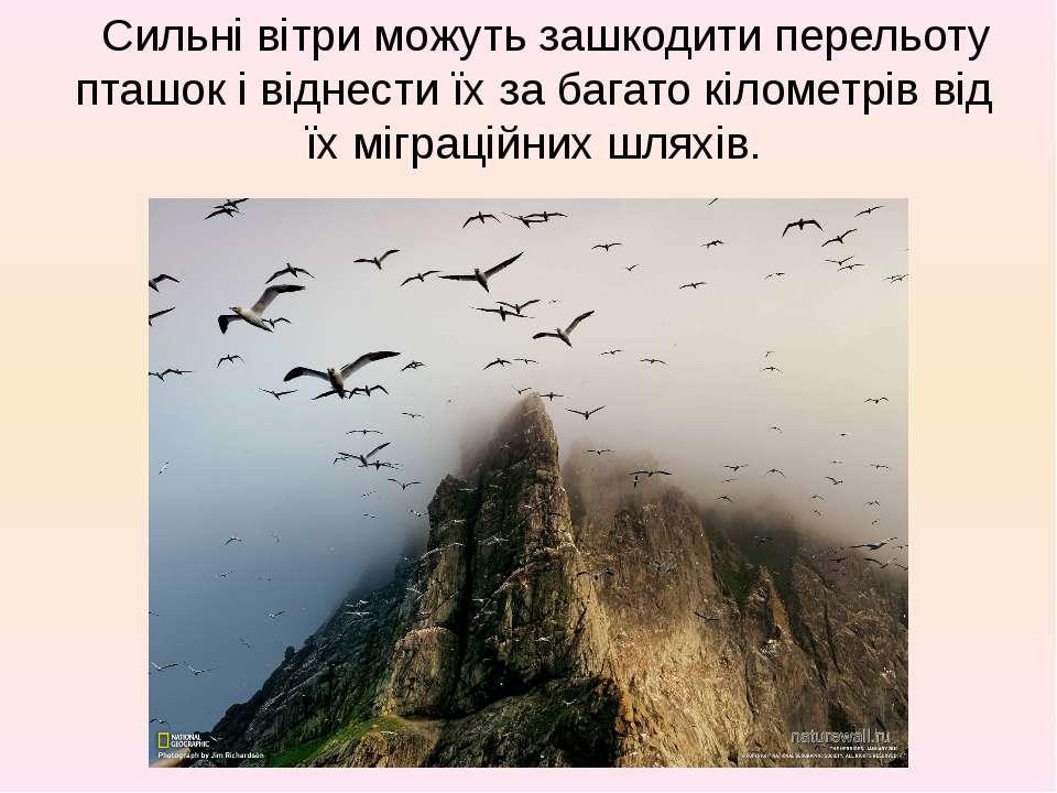 Сильні вітри можуть зашкодити перельоту пташок і віднести їх за багато кіломе...