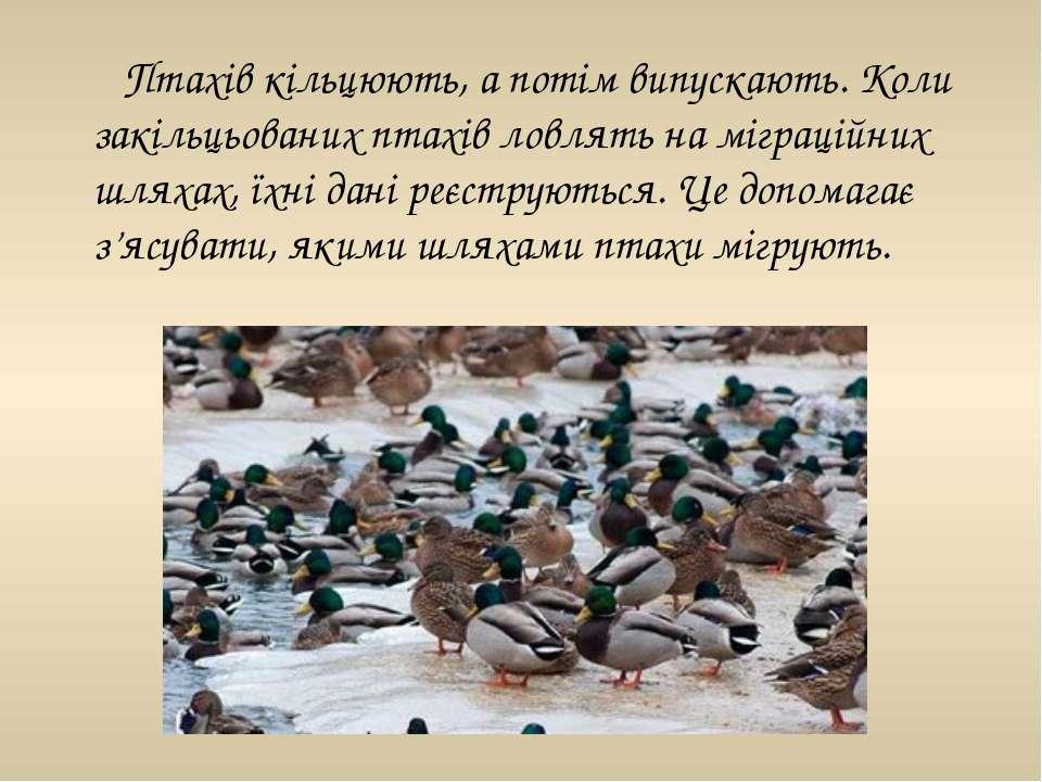 Птахів кільцюють, а потім випускають. Коли закільцьованих птахів ловлять на м...