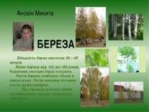 Анохін Микита БЕРЕЗА Більшість берез висотою 30 – 45 метрів. Живе береза від ...
