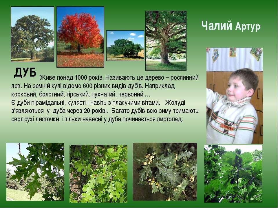 Чалий Артур ДУБ Живе понад 1000 років. Називають це дерево – рослинний лев. Н...