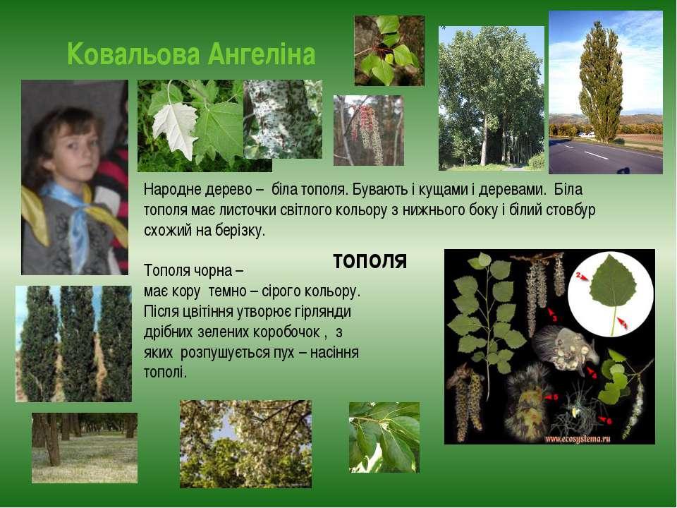Ковальова Ангеліна тополя Народне дерево – біла тополя. Бувають і кущами і де...